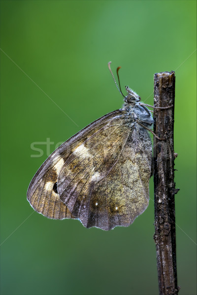 butterfly resting in a branch Stock photo © lkpro