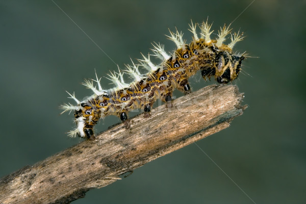 caterpillar of Papilionidae in the head branch Stock photo © lkpro
