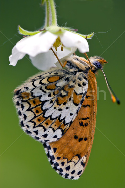 a butterly in a flower Stock photo © lkpro