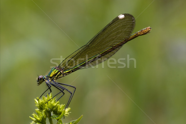 side of wild gold green dragonfly  Stock photo © lkpro