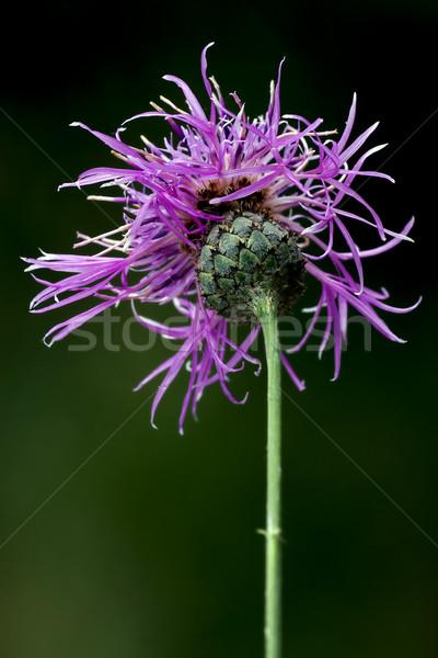 Violet bloem groene Stockfoto © lkpro