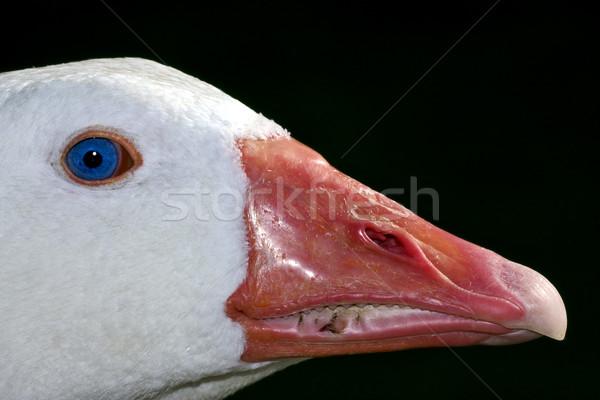 Eend Blauw oog Buenos Aires witte Argentinië Stockfoto © lkpro