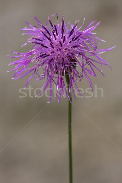 Violet bloem groene witte bruin Stockfoto © lkpro