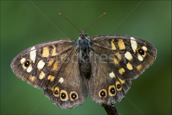 Grijs oranje vlinder bruin tak Stockfoto © lkpro