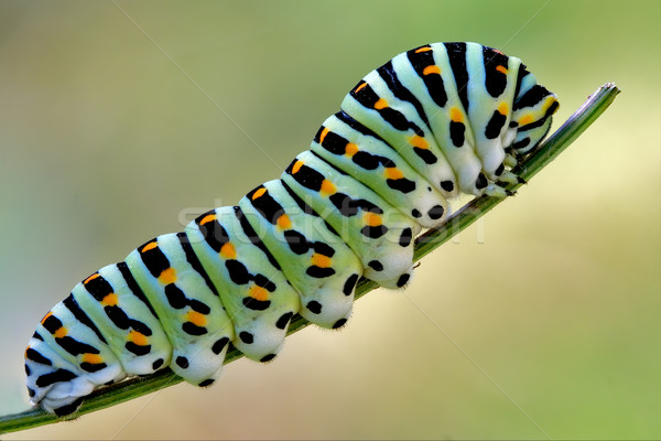 Stock photo: green caterpillar on a fennel