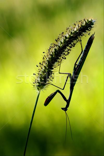 mantis religiosa and shadow Stock photo © lkpro