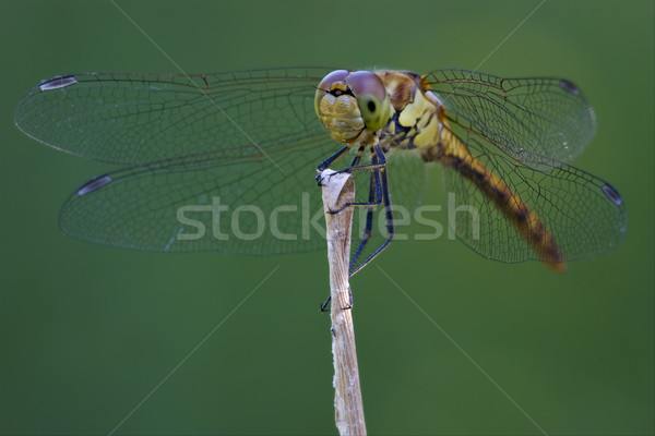 Preto amarelo libélula madeira Foto stock © lkpro