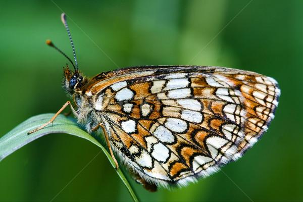 butterfly in a leaf Stock photo © lkpro
