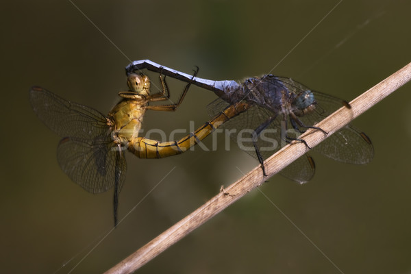 reproduction of two wild yellow  blue  dragonfly Stock photo © lkpro