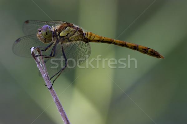 Siyah sarı yusufçuk ahşap şube Stok fotoğraf © lkpro