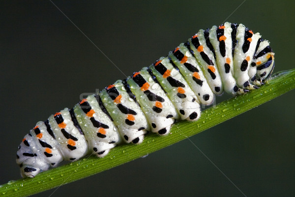 caterpillar of a Papilionidae Stock photo © lkpro
