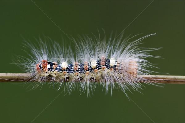 caterpillar  in the bush Stock photo © lkpro