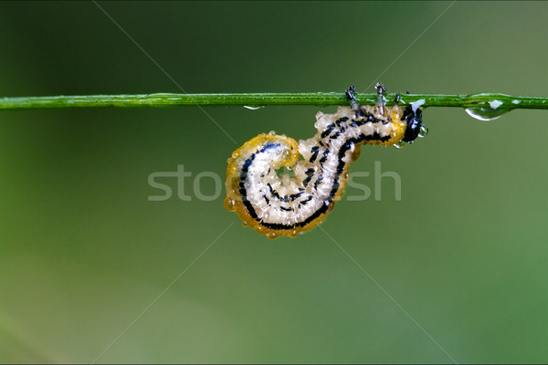 caterpillar curved Stock photo © lkpro