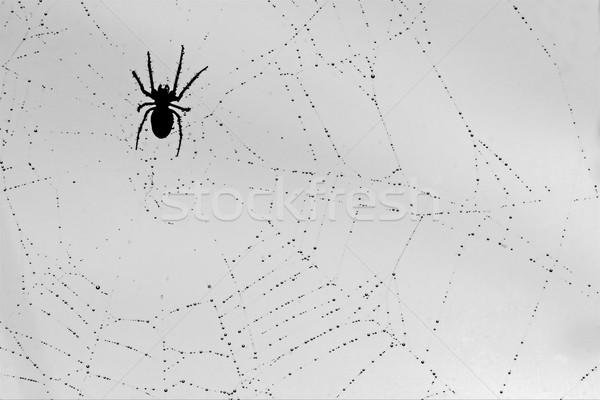 Aranha cair teia luz fundo preto Foto stock © lkpro