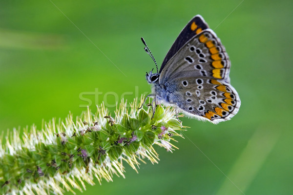 butterfly grey orange   Stock photo © lkpro