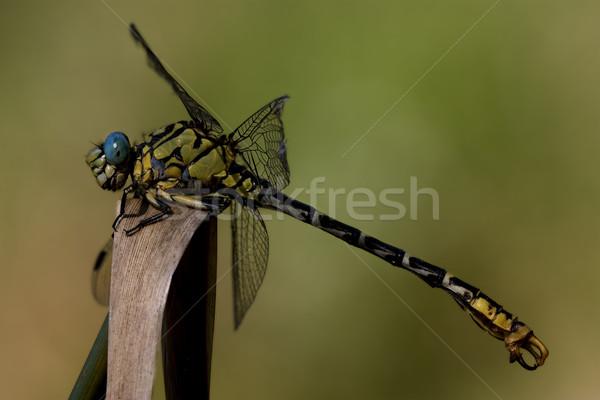 Fekete citromsárga vad szitakötő fa levél Stock fotó © lkpro