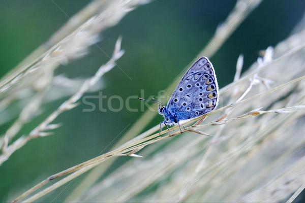Mavi kelebek çalı çiçek doğa Stok fotoğraf © lkpro