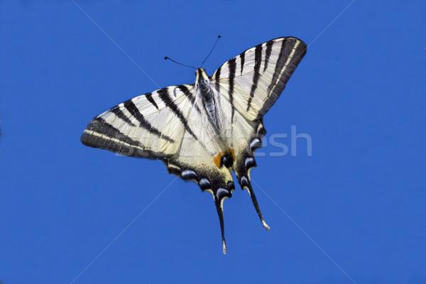 Vliegen blauwe hemel wild voorjaar vlinder natuur Stockfoto © lkpro