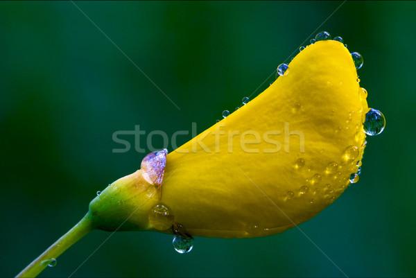 Virág természet zöld csepp fehér citromsárga Stock fotó © lkpro
