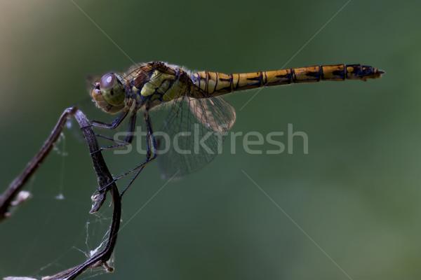 сторона желтый черный Dragonfly древесины Сток-фото © lkpro