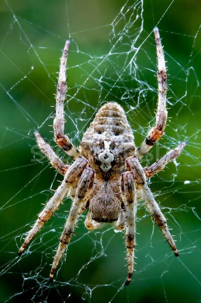 Közelkép pók háló fekete barna mancs Stock fotó © lkpro