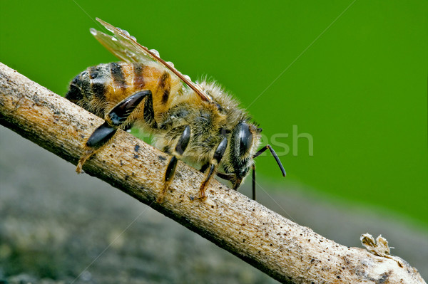 Stock photo:  bee in a piece of wood