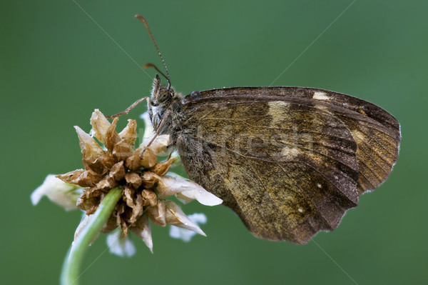 ブラウン 蝶 花 サイド 白い花 ストックフォト © lkpro