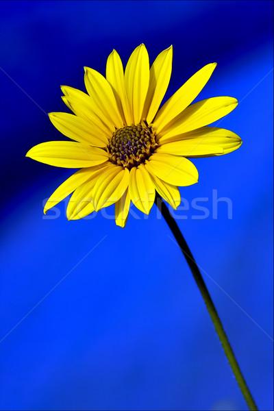 Kék citromsárga sárga virág összetett virág tavasz Stock fotó © lkpro