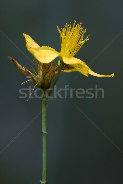 dark of hypericum  Stock photo © lkpro