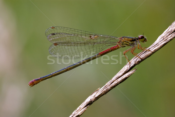 red black dragonfly coenagrion puella  Stock photo © lkpro