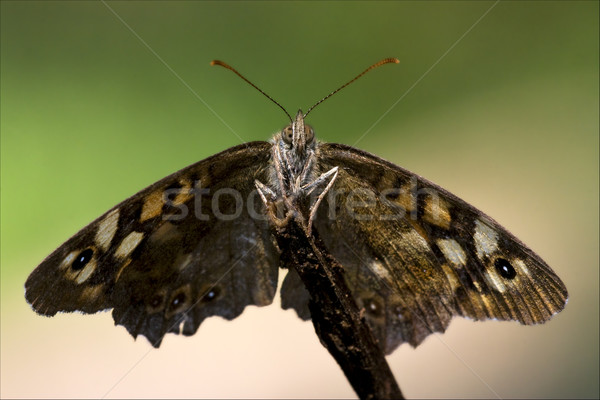 front of wild  butterfly  on a branch  Stock photo © lkpro
