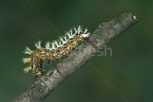 caterpillar of Papilionidae in the branch Stock photo © lkpro