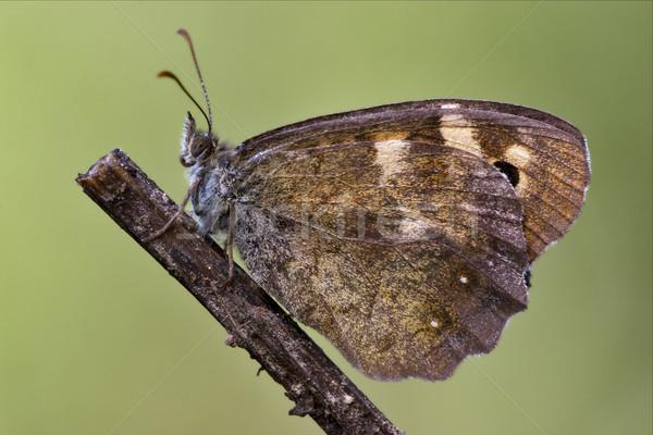 Yan turuncu kelebek çalı kahverengi Stok fotoğraf © lkpro