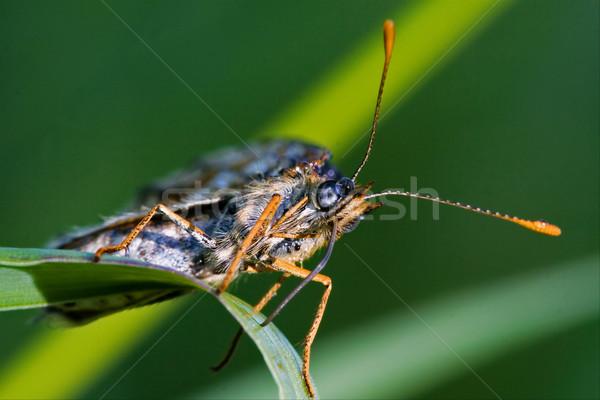 Kahverengi turuncu kelebek yeşil yaprak Stok fotoğraf © lkpro