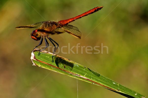 красный Dragonfly кусок лист Буш Сток-фото © lkpro