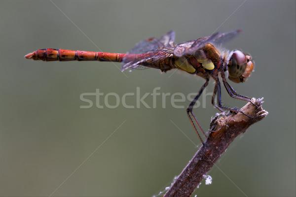 Vermelho amarelo libélula madeira ramo Foto stock © lkpro