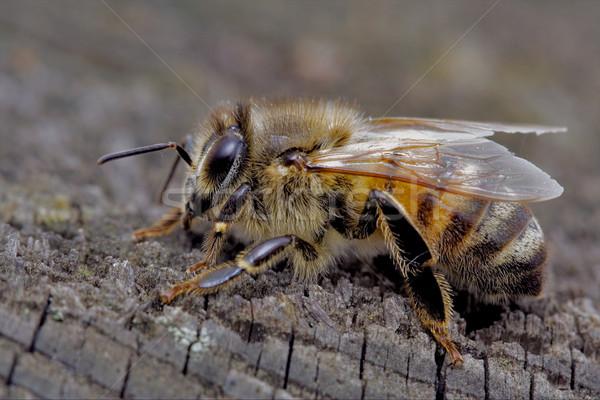 Bee древесины мало кусок линия крыло Сток-фото © lkpro