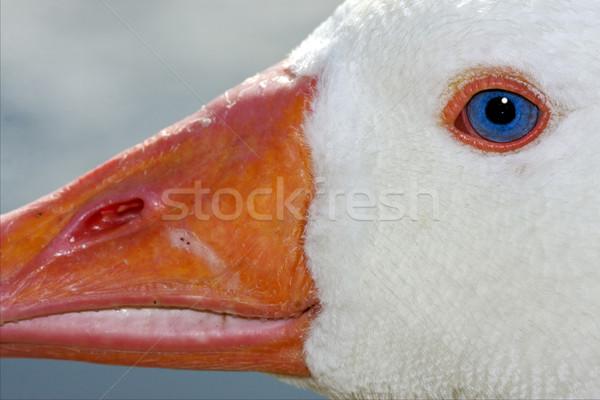Fehér kacsa kék szem Buenos Aires Argentína Stock fotó © lkpro