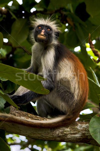 Emberszabású majom szemek sziget természet pálma száj Stock fotó © lkpro