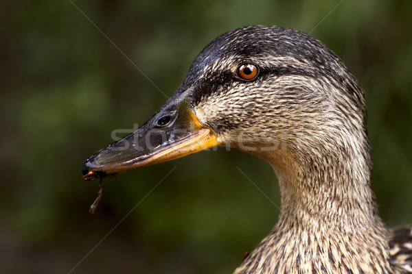 a duck eating Stock photo © lkpro