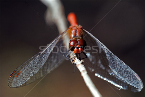 front of wild red yellow dragonfly  Stock photo © lkpro