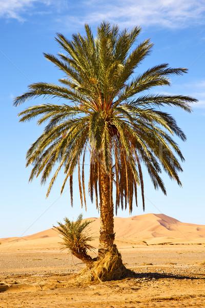 Palm woestijn Marokko sahara afrika duin Stockfoto © lkpro