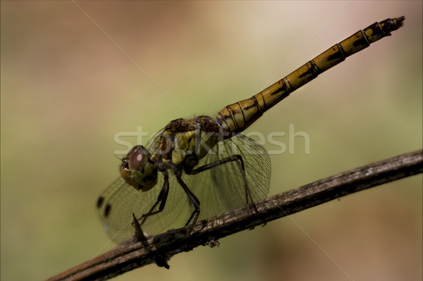 Oldal citromsárga fekete szitakötő vad fa Stock fotó © lkpro