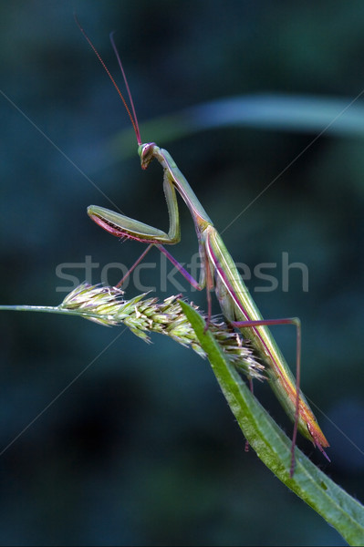 молятся лист глаза зеленый синий Сток-фото © lkpro