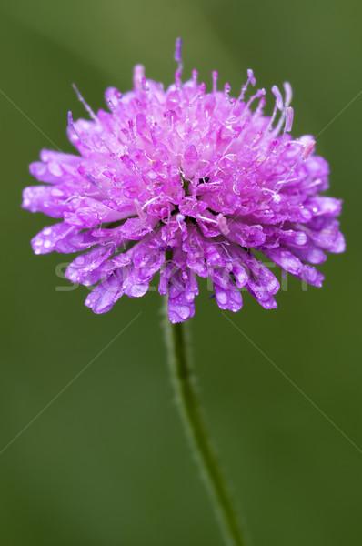 Ibolya virág természet levél kert fekete Stock fotó © lkpro