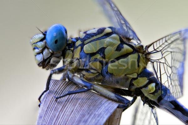 black yellow dragonfly anax imperator  Stock photo © lkpro
