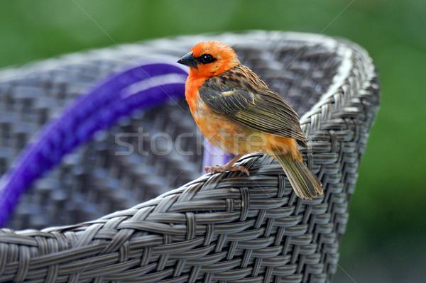 Kicsi madár narancs zöld szék szín Stock fotó © lkpro