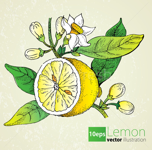 Lemon flowers & leaf set in retro style Stock photo © lossik