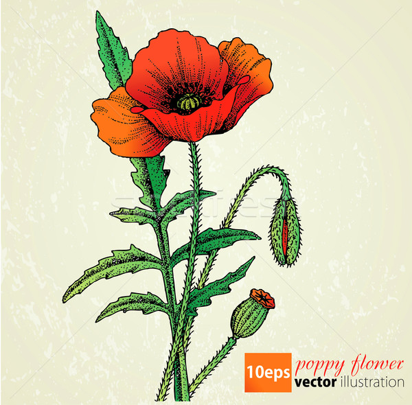 Red Poppy flowers Stock photo © lossik