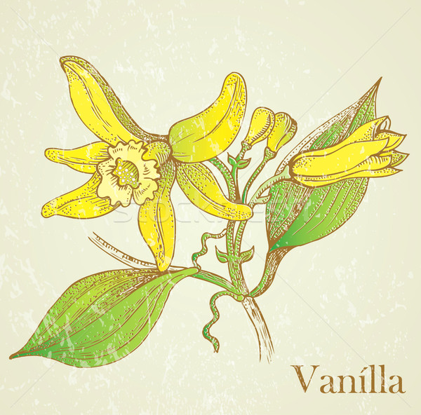 Vector illustration vanilla flowers Stock photo © lossik